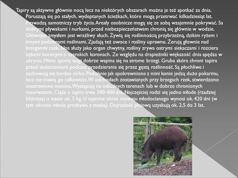 Tapiry są aktywne głównie nocą lecz na niektórych obszarach można je też spotkać za dnia. Poruszają się po stałych, wydeptanych ścieżkach, które mogą