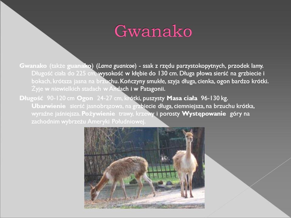 Gwanako (także guanako) (Lama guanicoe) - ssak z rzędu parzystokopytnych, przodek lamy. Długość ciała do 225 cm, wysokość w kłębie do 130 cm. Długa pł
