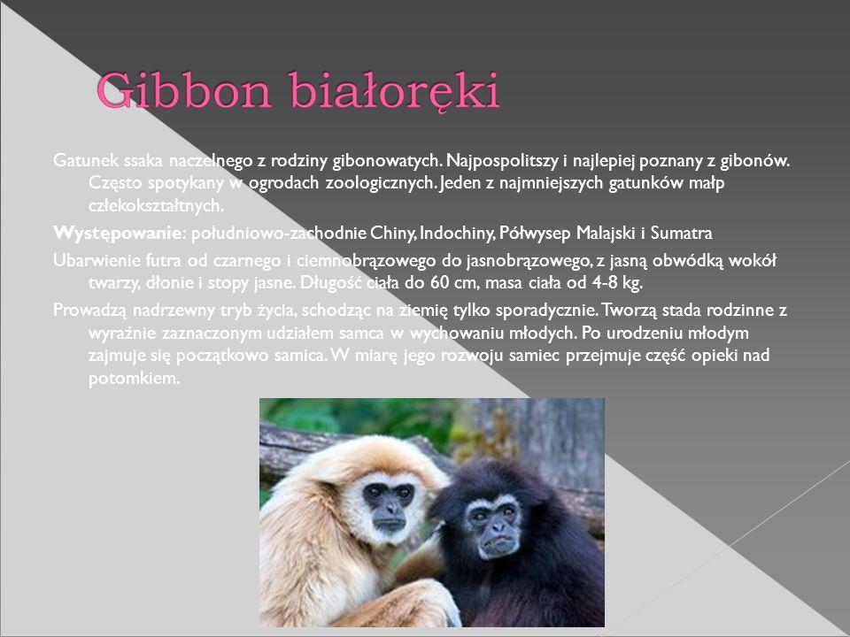 Gatunek ssaka naczelnego z rodziny gibonowatych. Najpospolitszy i najlepiej poznany z gibonów. Często spotykany w ogrodach zoologicznych. Jeden z najm