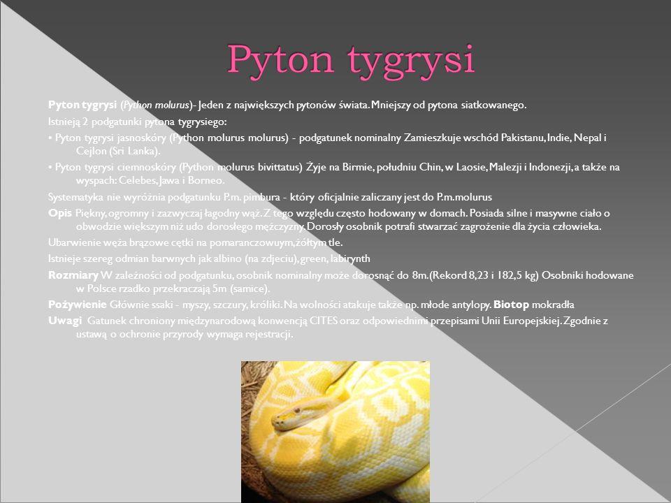 Pyton tygrysi (Python molurus)- Jeden z największych pytonów świata. Mniejszy od pytona siatkowanego. Istnieją 2 podgatunki pytona tygrysiego: Pyton t