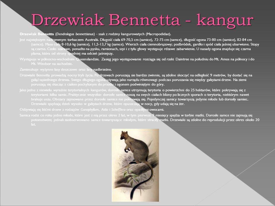 Drzewiak Bennetta (Dendrolagus bennettianus) - ssak z rodziny kangurowatych (Macropodidae). Jest największym nadrzewnym torbaczem Australii. Długość c