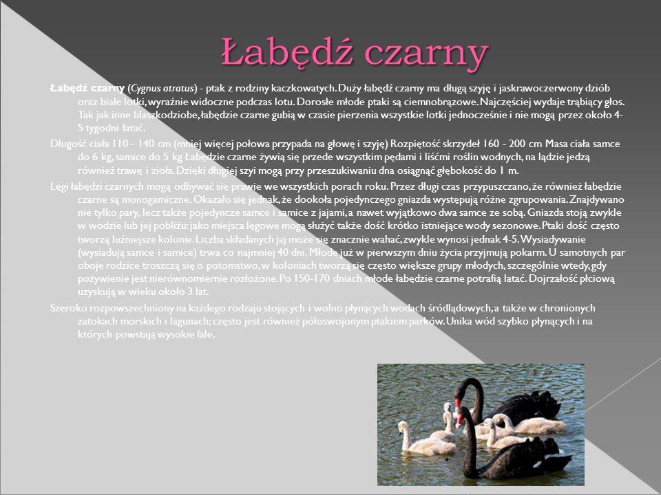 Łabędź czarny (Cygnus atratus) - ptak z rodziny kaczkowatych. Duży łabędź czarny ma długą szyję i jaskrawoczerwony dziób oraz białe lotki, wyraźnie wi