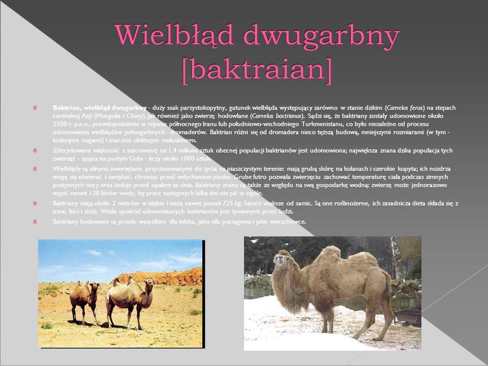 Baktrian, wielbłąd dwugarbny - duży ssak parzystokopytny, gatunek wielbłąda występujący zarówno w stanie dzikim (Camelus ferus) na stepach centralnej