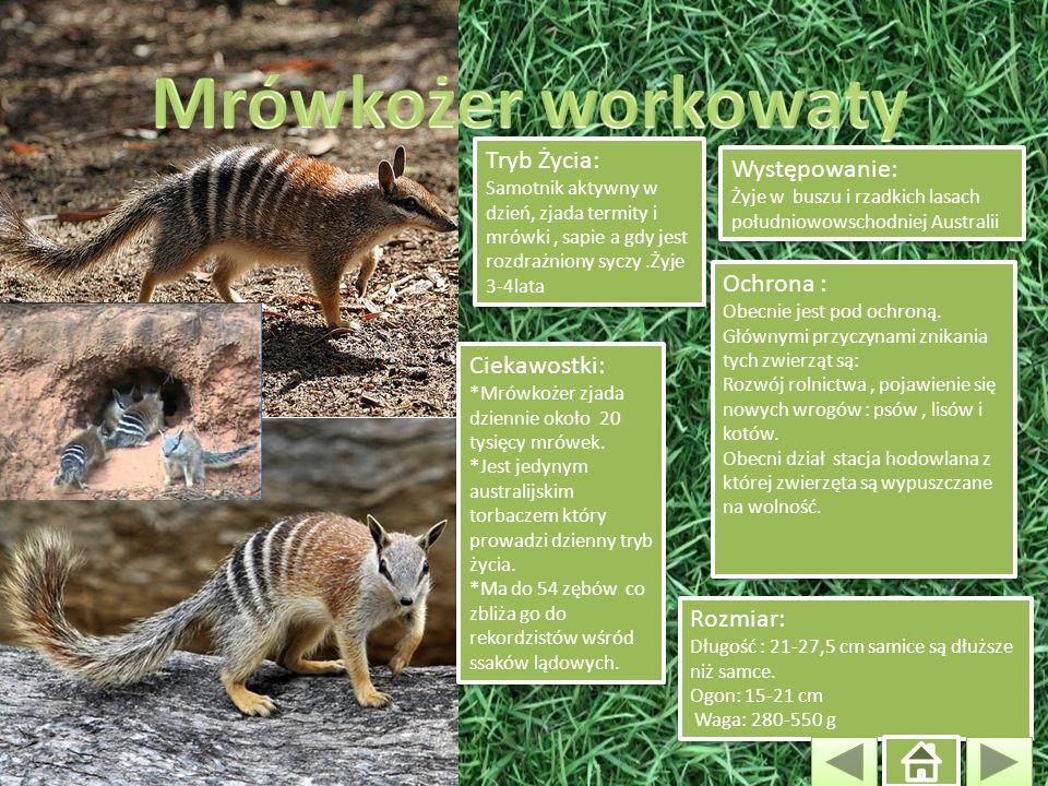 Występowanie: Żyje w buszu i rzadkich lasach południowowschodniej Australii Występowanie: Żyje w buszu i rzadkich lasach południowowschodniej Australi