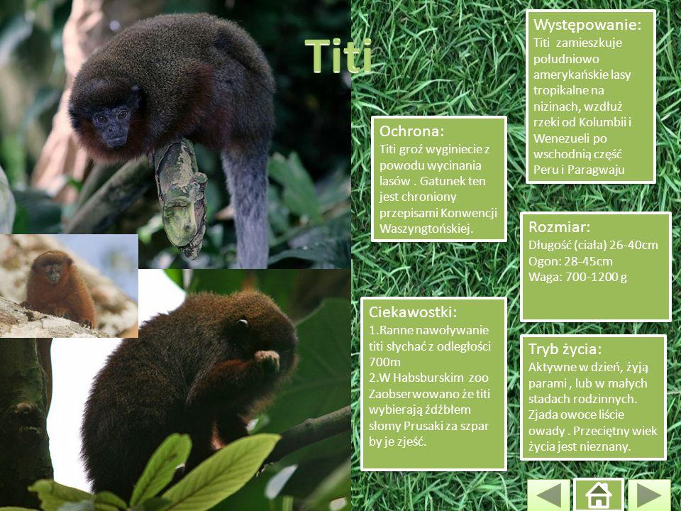 Ochrona: Titi groź wyginiecie z powodu wycinania lasów. Gatunek ten jest chroniony przepisami Konwencji Waszyngtońskiej. Ochrona: Titi groź wyginiecie