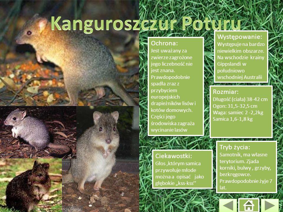Ochrona: Jest uważany za zwierze zagrożone jego liczebność nie jest znana. Prawdopodobnie spadła zraz z przybyciem europejskich drapieżników lisów i k