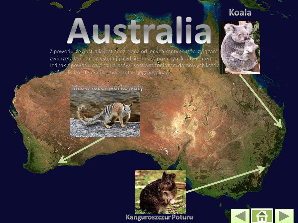 Z powodu że Australia jest oddzielona od innych kontynentów żyją tam zwierzęta które nie występują nigdzie indziej poza tym kontynentem.