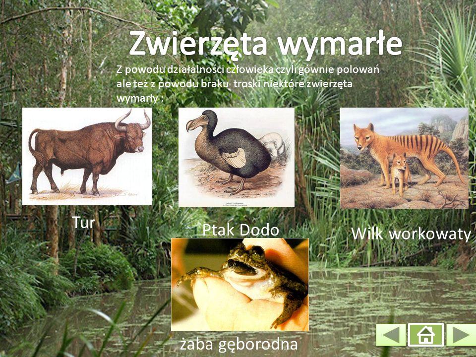 Z powodu działalności człowieka czyli gównie polowań ale też z powodu braku troski niektóre zwierzęta wymarły : Ptak Dodo Tur Wilk workowaty żaba gęborodna