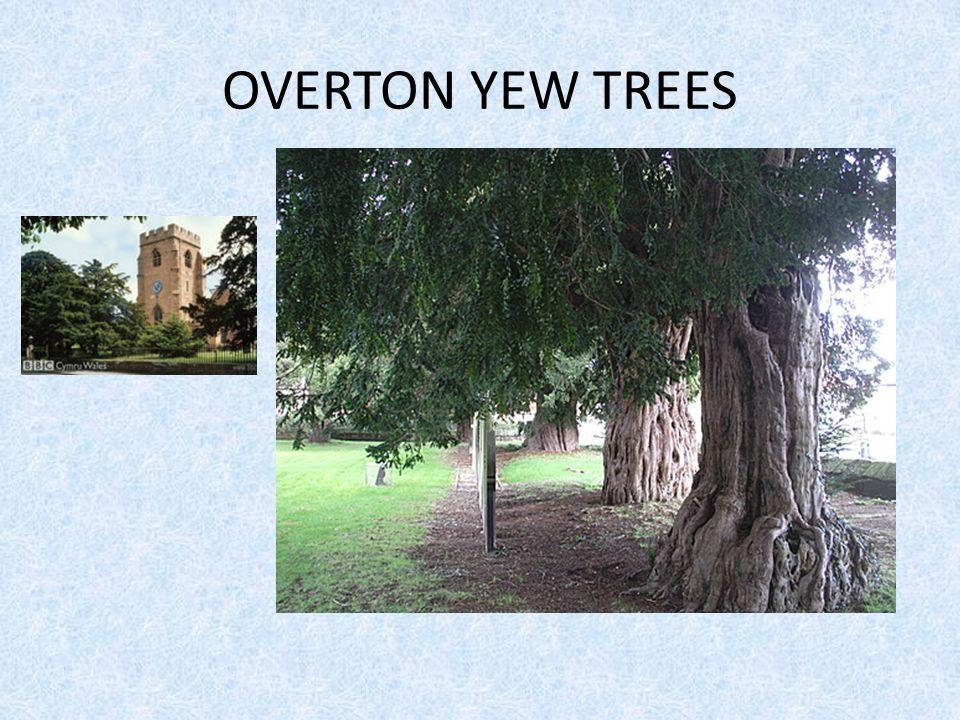 OVERTON YEW TREES