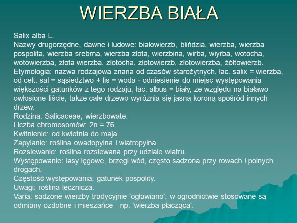 WIERZBA BIAŁA Salix alba L. Nazwy drugorzędne, dawne i ludowe: białowierzb, blińdzia, wierzba, wierzba pospolita, wierzba srebrna, wierzba złota, wier