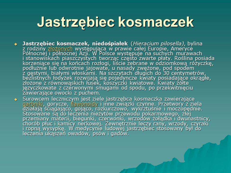 Jastrzębiec kosmaczek Jastrzębiec kosmaczek, niedośpiałek (Hieracium pilosella), bylina z rodziny złożonych występująca w prawie całej Europie, Ameryc