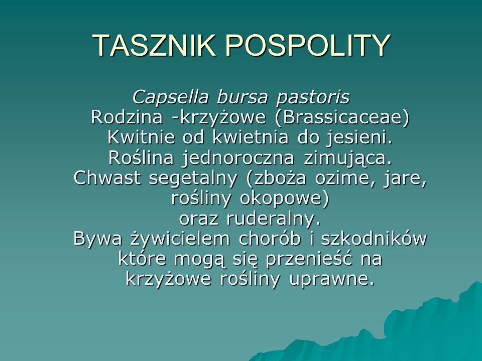 TASZNIK POSPOLITY Capsella bursa pastoris Rodzina -krzyżowe (Brassicaceae) Kwitnie od kwietnia do jesieni. Roślina jednoroczna zimująca. Chwast segeta