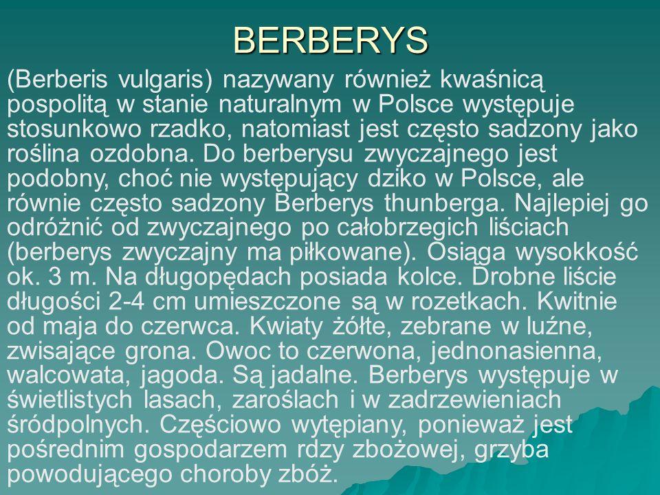 BERBERYS (Berberis vulgaris) nazywany również kwaśnicą pospolitą w stanie naturalnym w Polsce występuje stosunkowo rzadko, natomiast jest często sadzo
