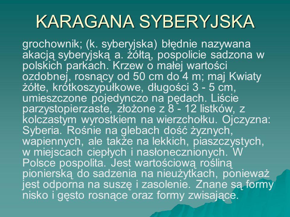 KARAGANA SYBERYJSKA grochownik; (k. syberyjska) błędnie nazywana akacją syberyjską a. żółtą, pospolicie sadzona w polskich parkach. Krzew o małej wart