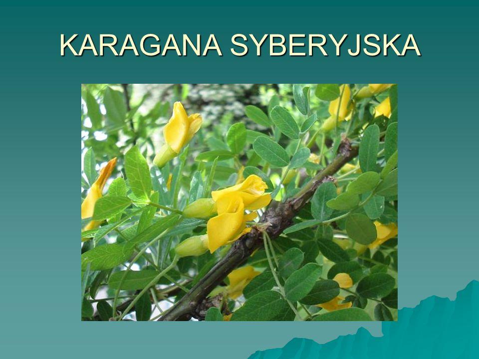 KARAGANA SYBERYJSKA