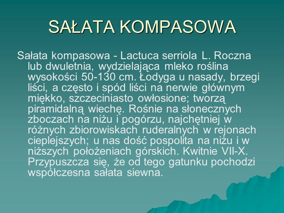 SAŁATA KOMPASOWA Sałata kompasowa - Lactuca serriola L. Roczna lub dwuletnia, wydzielająca mleko roślina wysokości 50-130 cm. Łodyga u nasady, brzegi