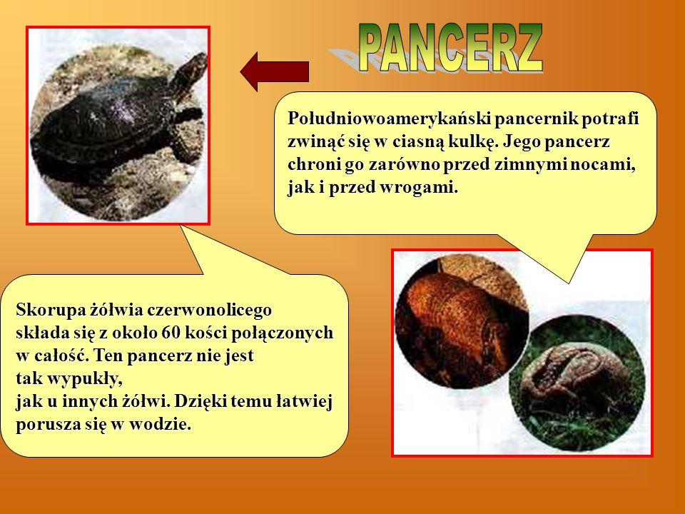 Skorupa żółwia czerwonolicego składa się z około 60 kości połączonych w całość.