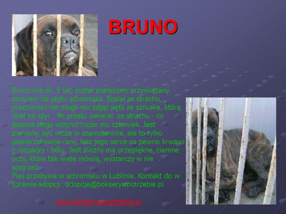 BRUNO Bruno ma ok. 5 lat, został znaleziony przywiązany sznurem do płotu schroniska. Szalał ze strachu, pracownicy nie mogli mu zdjąć pętli ze sznurka
