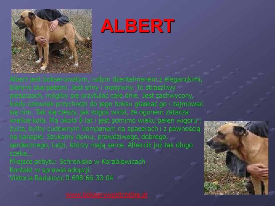 ALBERT Albert jest bokserowatym, rudym dżentelmenem z eleganckimi, białymi skarpetami. Jest silny i masywny. To straszliwy pieszczoch, mógłby się przy