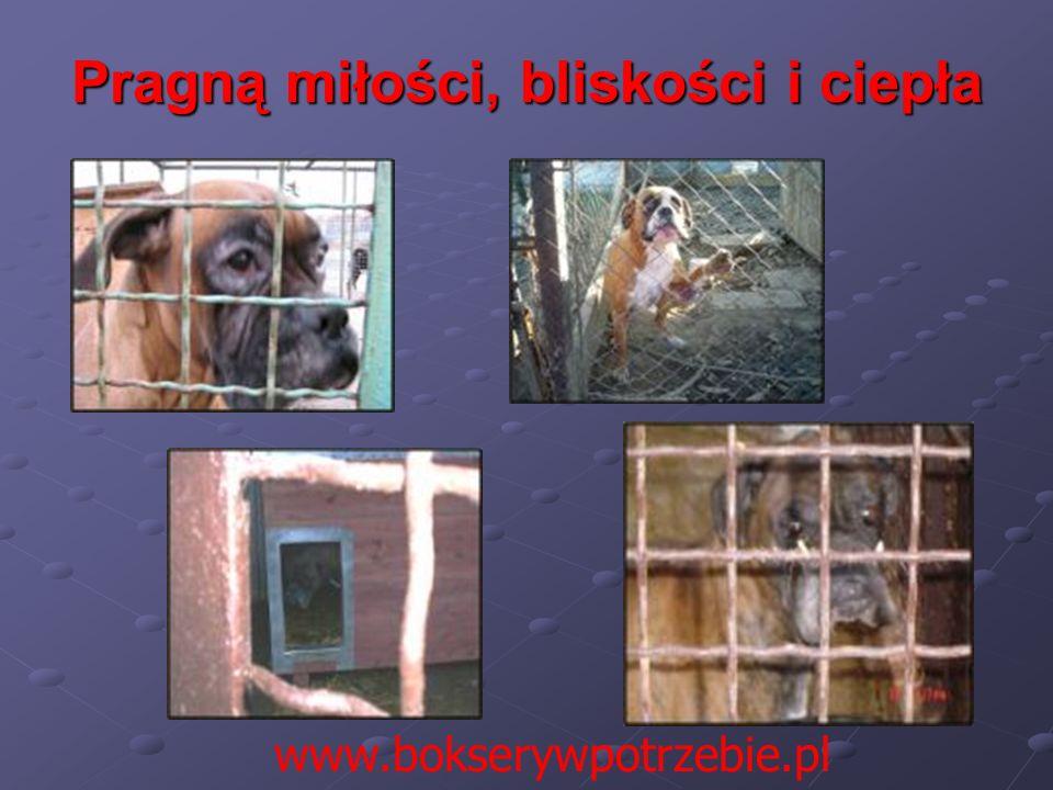 Pragną miłości, bliskości i ciepła www.bokserywpotrzebie.pl