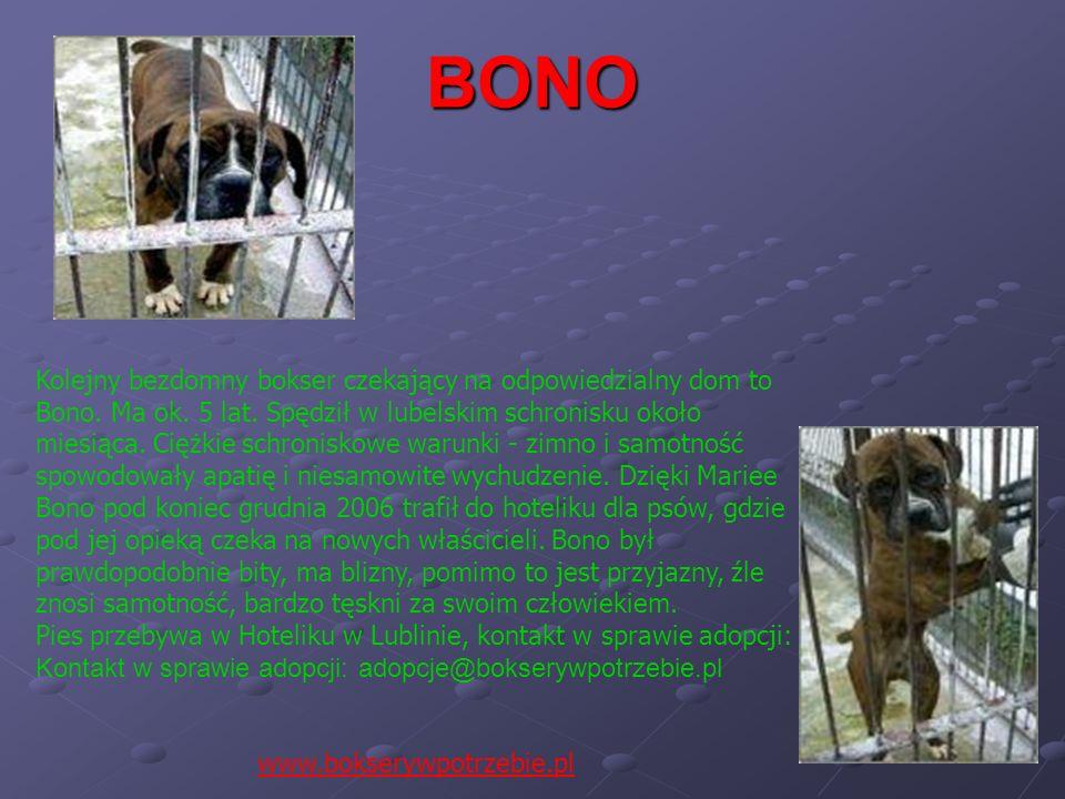 BONO Kolejny bezdomny bokser czekający na odpowiedzialny dom to Bono. Ma ok. 5 lat. Spędził w lubelskim schronisku około miesiąca. Ciężkie schroniskow