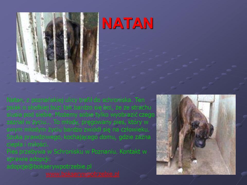 NATAN Natan, z poznańskiej ulicy trafił do schroniska. Ten psiak o słodkiej buzi tak bardzo się boi, że ze strachu siusia pod siebie. Możemy sobie tyl