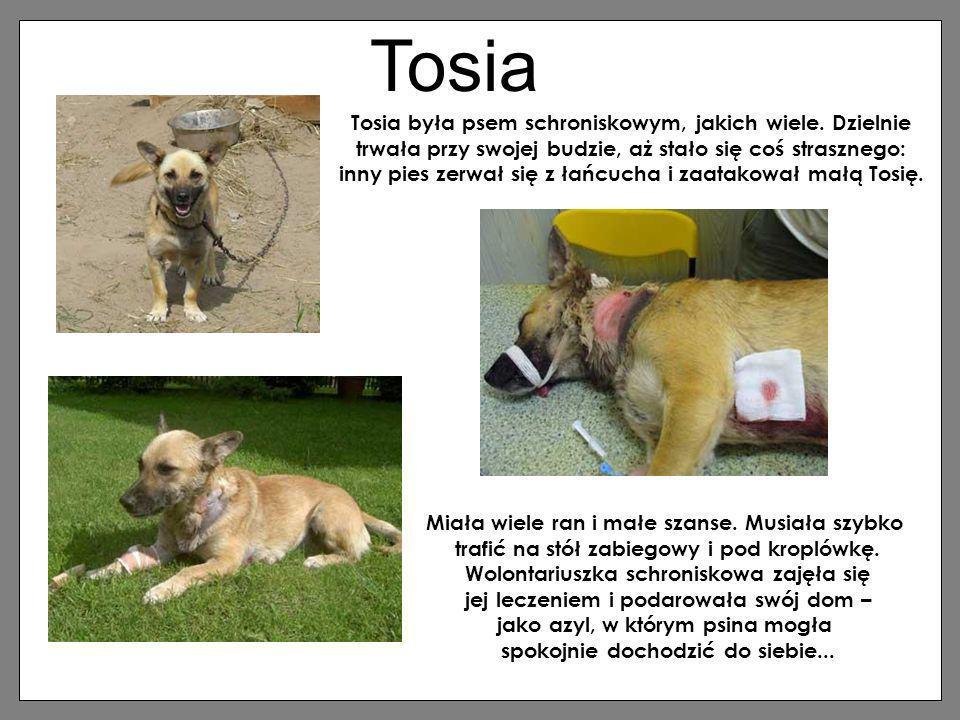Tosia Tosia była psem schroniskowym, jakich wiele. Dzielnie trwała przy swojej budzie, aż stało się coś strasznego: inny pies zerwał się z łańcucha i