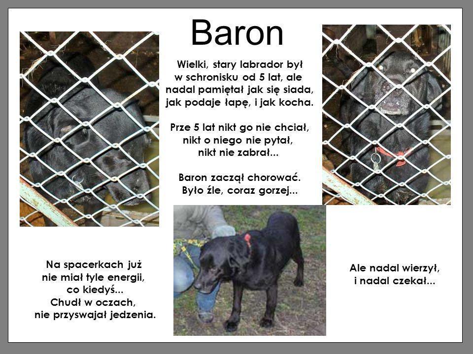 Baron Wielki, stary labrador był w schronisku od 5 lat, ale nadal pamiętał jak się siada, jak podaje łapę, i jak kocha. Prze 5 lat nikt go nie chciał,