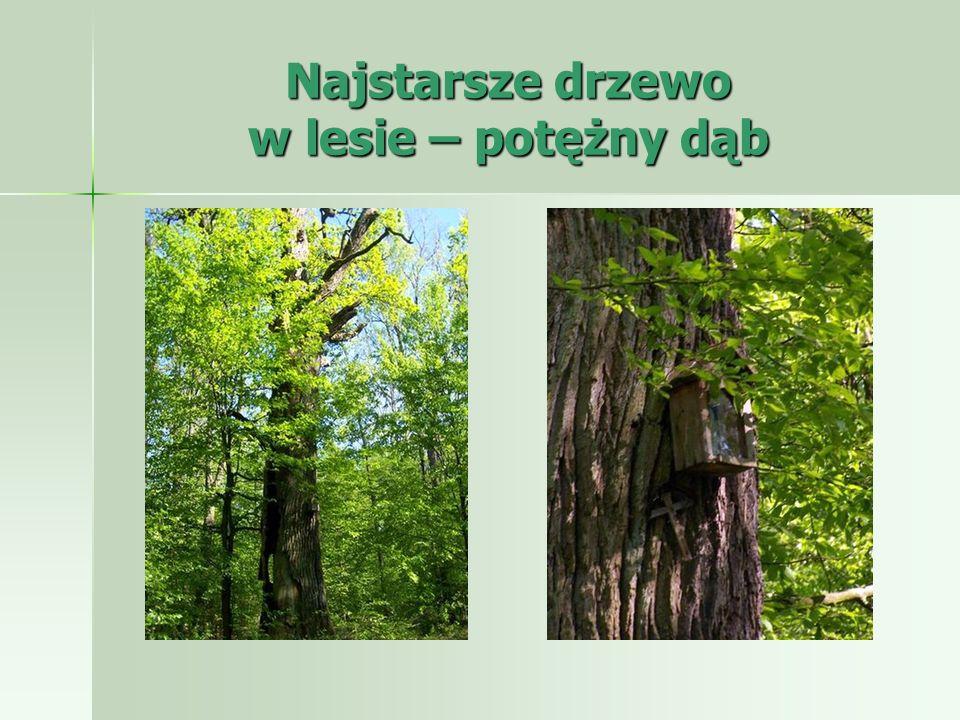 Najstarsze drzewo w lesie – potężny dąb