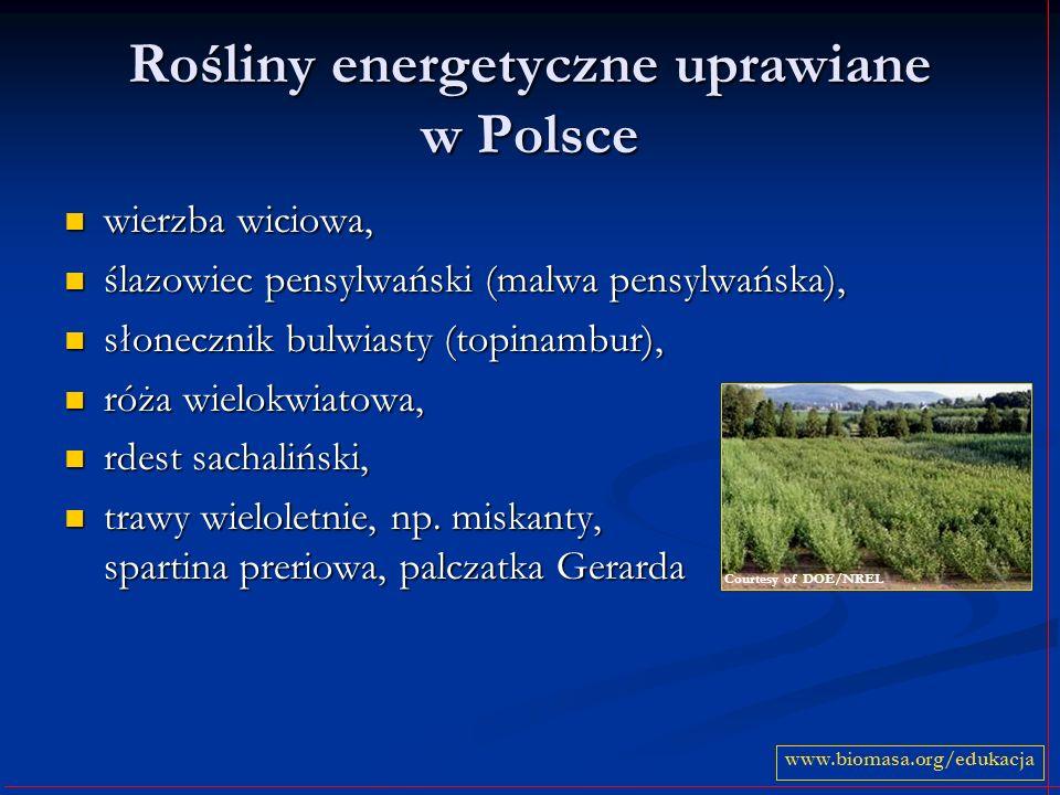 Rośliny energetyczne uprawiane w Polsce wierzba wiciowa, wierzba wiciowa, ślazowiec pensylwański (malwa pensylwańska), ślazowiec pensylwański (malwa p