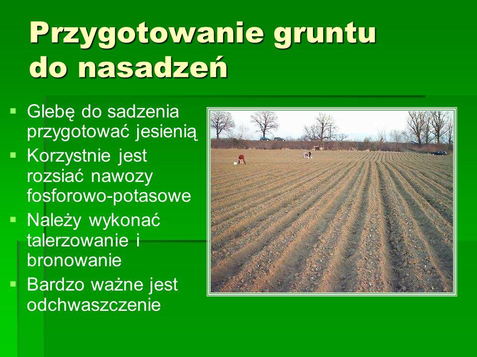 Przygotowanie gruntu do nasadzeń Glebę do sadzenia przygotować jesienią Korzystnie jest rozsiać nawozy fosforowo-potasowe Należy wykonać talerzowanie
