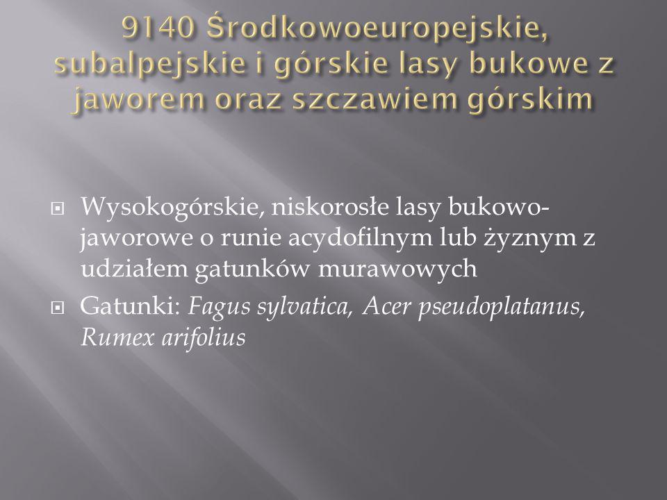 Wysokogórskie, niskorosłe lasy bukowo- jaworowe o runie acydofilnym lub żyznym z udziałem gatunków murawowych Gatunki: Fagus sylvatica, Acer pseudoplatanus, Rumex arifolius