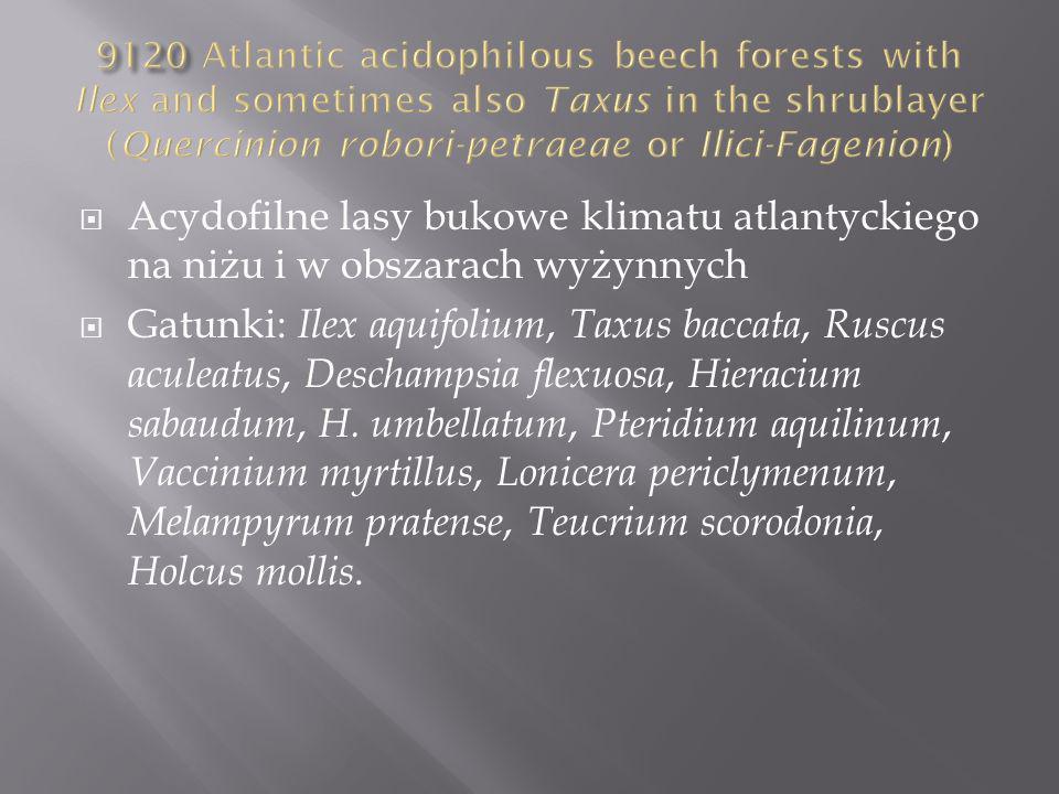 Acydofilne lasy bukowe klimatu atlantyckiego na niżu i w obszarach wyżynnych Gatunki: Ilex aquifolium, Taxus baccata, Ruscus aculeatus, Deschampsia flexuosa, Hieracium sabaudum, H.