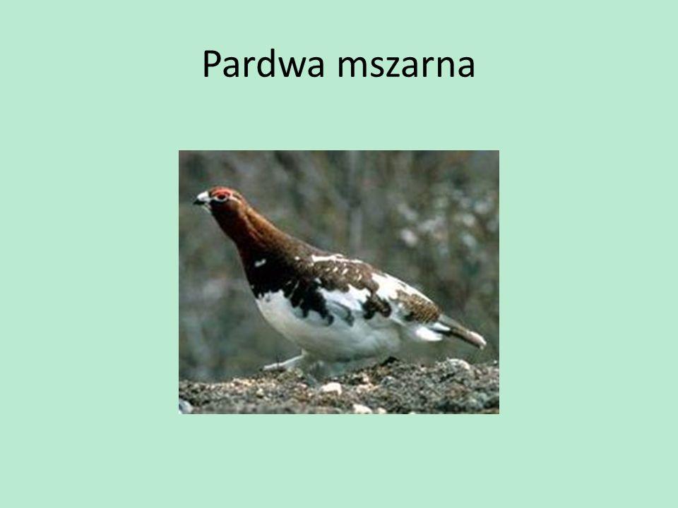 Pardwa mszarna
