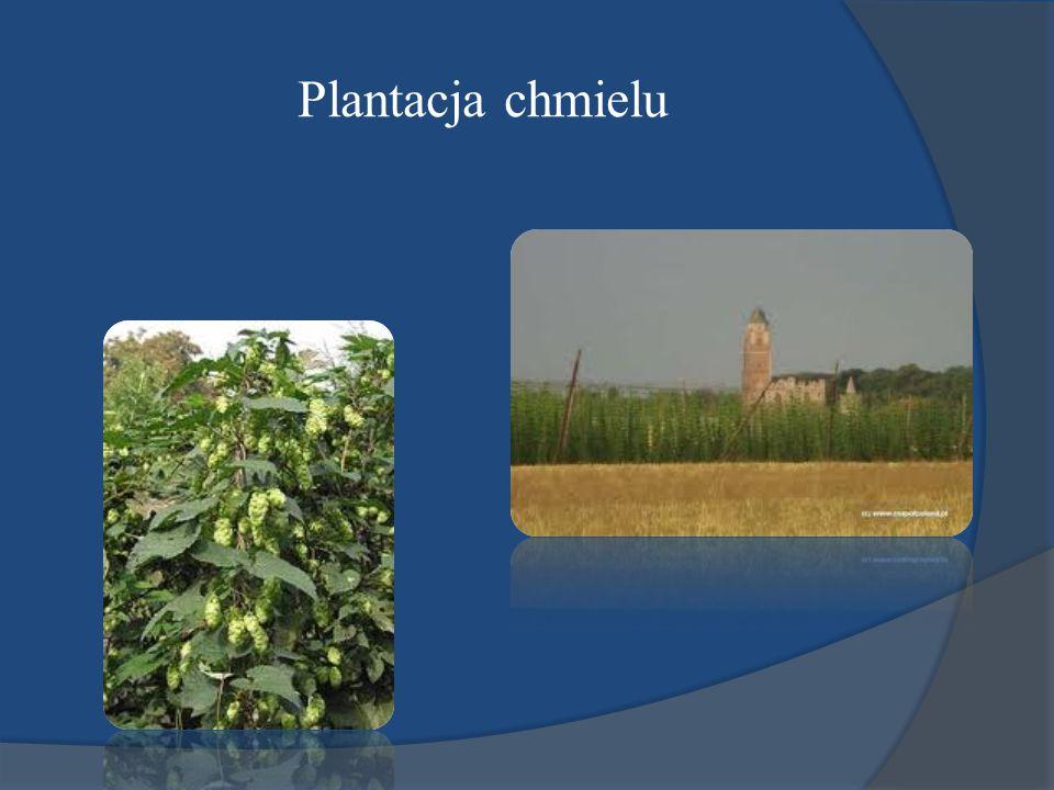 Plantacja chmielu