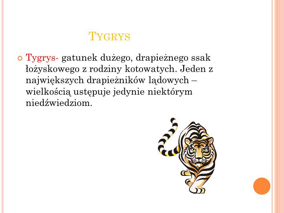 T YGRYS Tygrys- gatunek dużego, drapieżnego ssak łożyskowego z rodziny kotowatych.