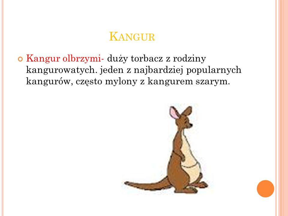 K ANGUR Kangur olbrzymi- duży torbacz z rodziny kangurowatych.