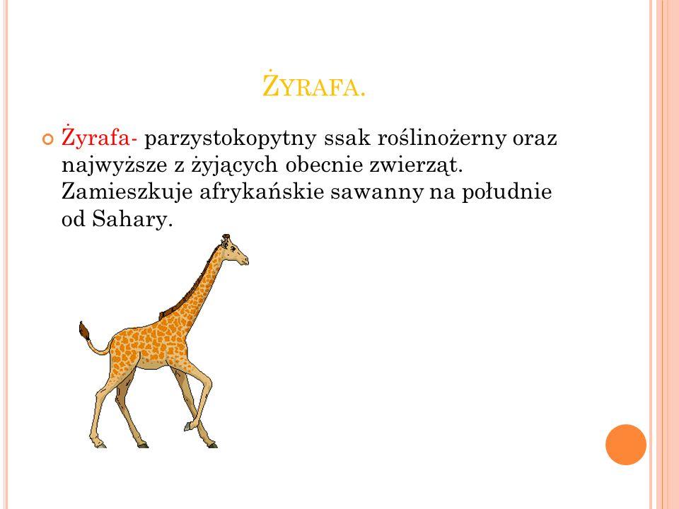 Ż YRAFA.Żyrafa- parzystokopytny ssak roślinożerny oraz najwyższe z żyjących obecnie zwierząt.