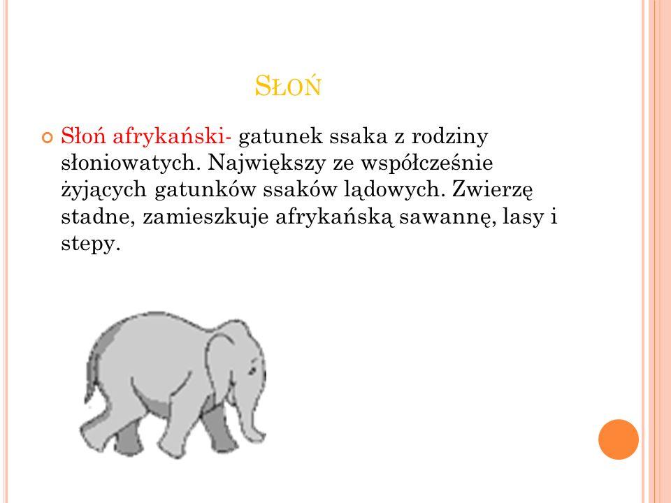 S ŁOŃ Słoń afrykański- gatunek ssaka z rodziny słoniowatych.