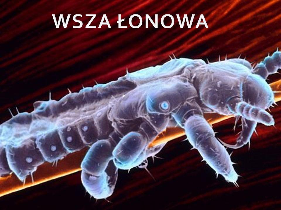 Wesz łonowa, mendoweszka – gatunek wszy należący do rodziny Pthiridae, pasożytujący na człowieku i powodujący chorobę wszawicę.