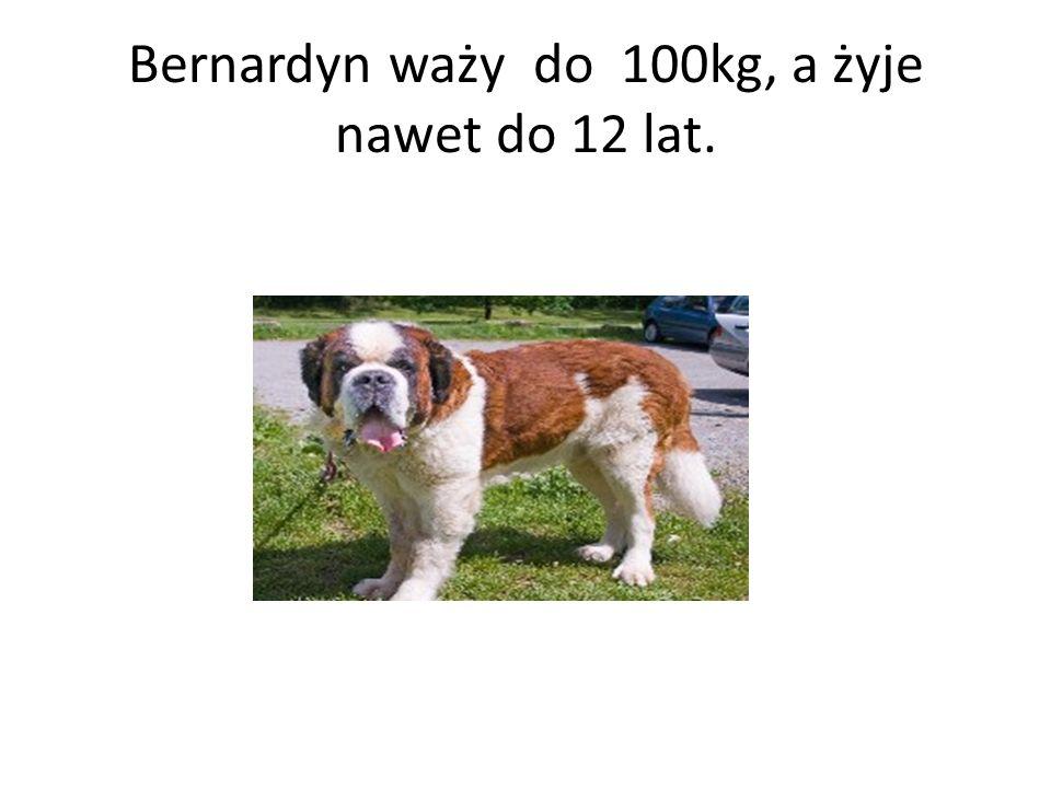 Bernardyn waży do 100kg, a żyje nawet do 12 lat.