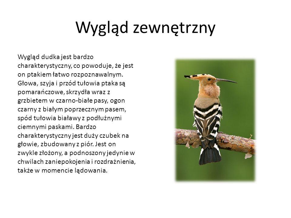 Wygląd zewnętrzny Wygląd dudka jest bardzo charakterystyczny, co powoduje, że jest on ptakiem łatwo rozpoznawalnym. Głowa, szyja i przód tułowia ptaka