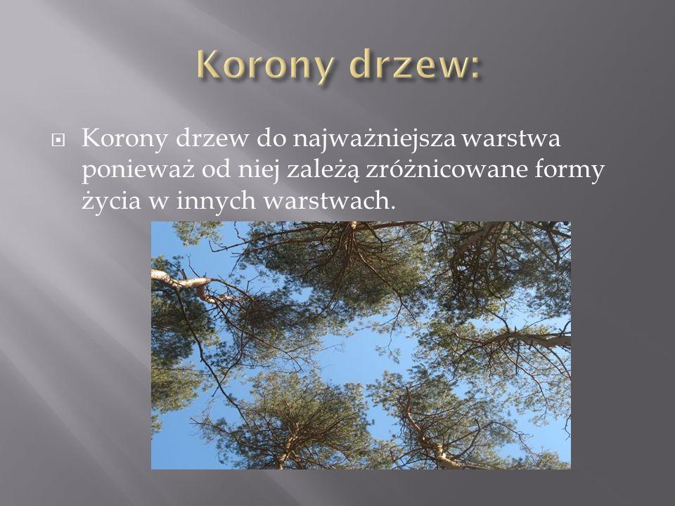 Korony drzew do najważniejsza warstwa ponieważ od niej zależą zróżnicowane formy życia w innych warstwach.