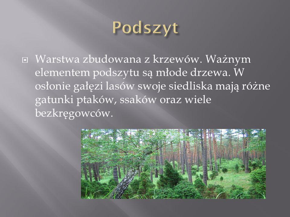 Warstwa zbudowana z krzewów.Ważnym elementem podszytu są młode drzewa.