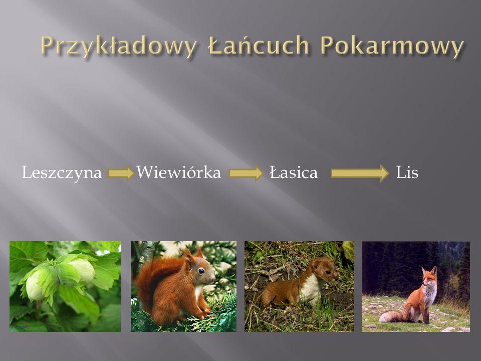 Leszczyna Wiewiórka Łasica Lis