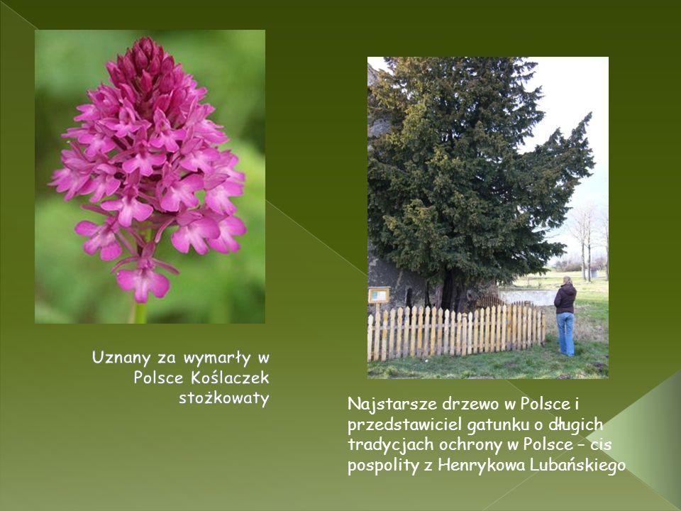 Najstarsze drzewo w Polsce i przedstawiciel gatunku o długich tradycjach ochrony w Polsce – cis pospolity z Henrykowa Lubańskiego