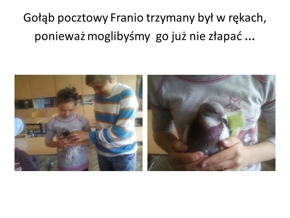 Gołąb pocztowy Franio trzymany był w rękach, ponieważ moglibyśmy go już nie złapać …