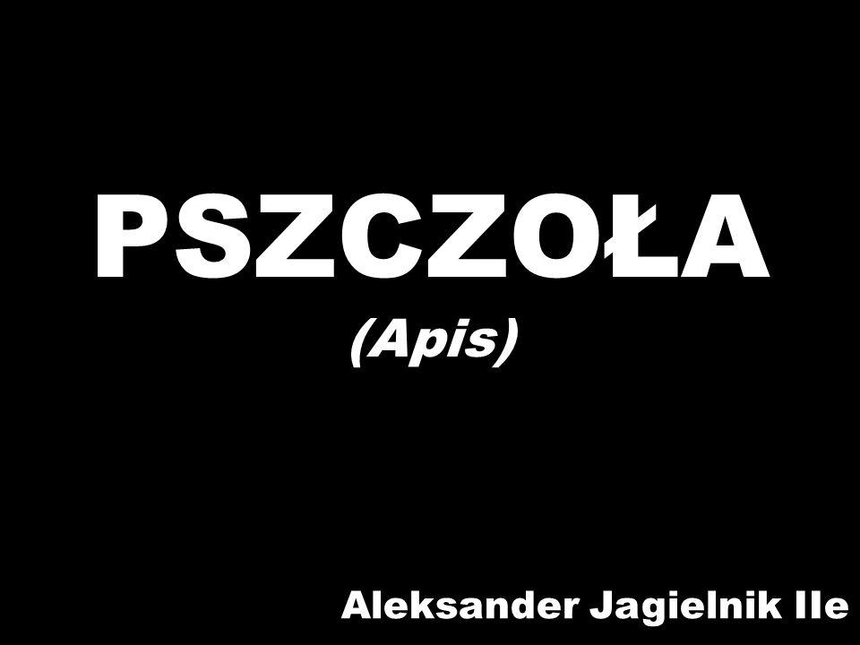 PSZCZOŁA (Apis) Aleksander Jagielnik IIe