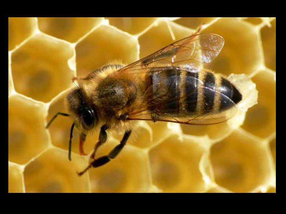 GDZIE WYSTĘPUJĄ … Żyją one obecnie dziko na terenie Azji, Afryki i Ameryki Południowej, a pszczoła miodna i pszczoła wschodnia zostały udomowione, w Europie.