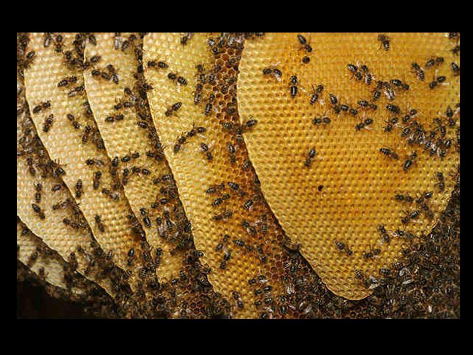 CZYM SIĘ ODRZYWIAJĄ … Osobniki dorosłe i larwy odżywiają się nektarem, spadzią oraz pyłkiem kwiatowym.